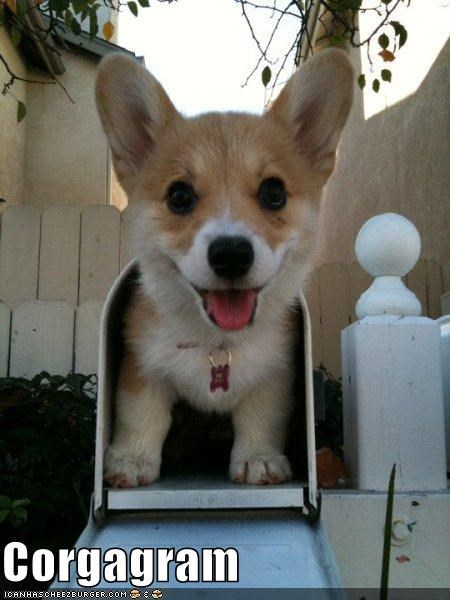 best of the week,corgi,delivery,Hall of Fame,mail,mailbox,puppy,special,special delivery,surprise,telegram