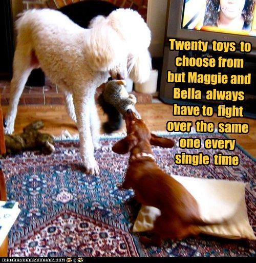 Twenty toys to choose from but Maggie and Bella always have to fight over the same one every single time