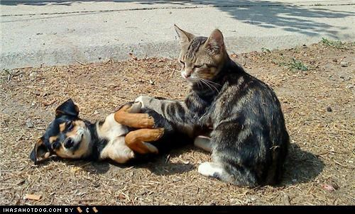 chihuahua kittehs r owr friends massage mixed breed tabby terrier whatbreed - 4892049152