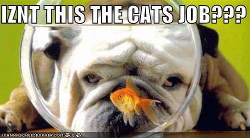 bulldog Cats confused Fishbowl goldfish job question Staring this