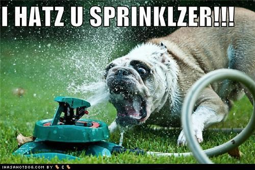 angry,bite,bulldog,derp,grass,lawn,sprinkler,yard