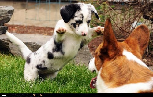 corgi,goggie ob teh week,grass,mom,play,puppy,spotty