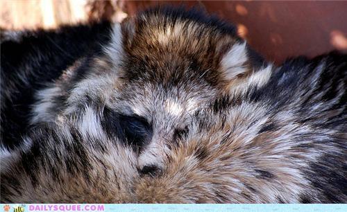 raccoon dog sleeping snuggling squee spree tanuki - 4893706240