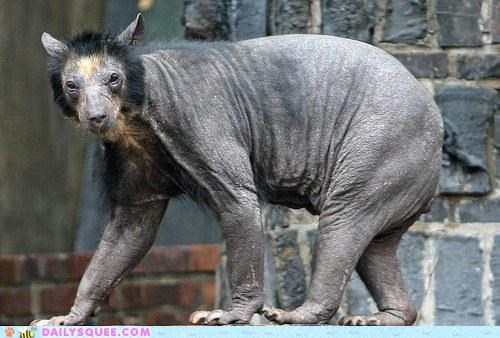 bear hairless request whatsit whatsit wednesday