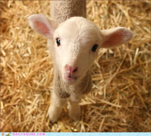 baby disease explanation Hall of Fame lamb sheep squee symptoms tiny unbearably cute unbearably squee - 4893753088