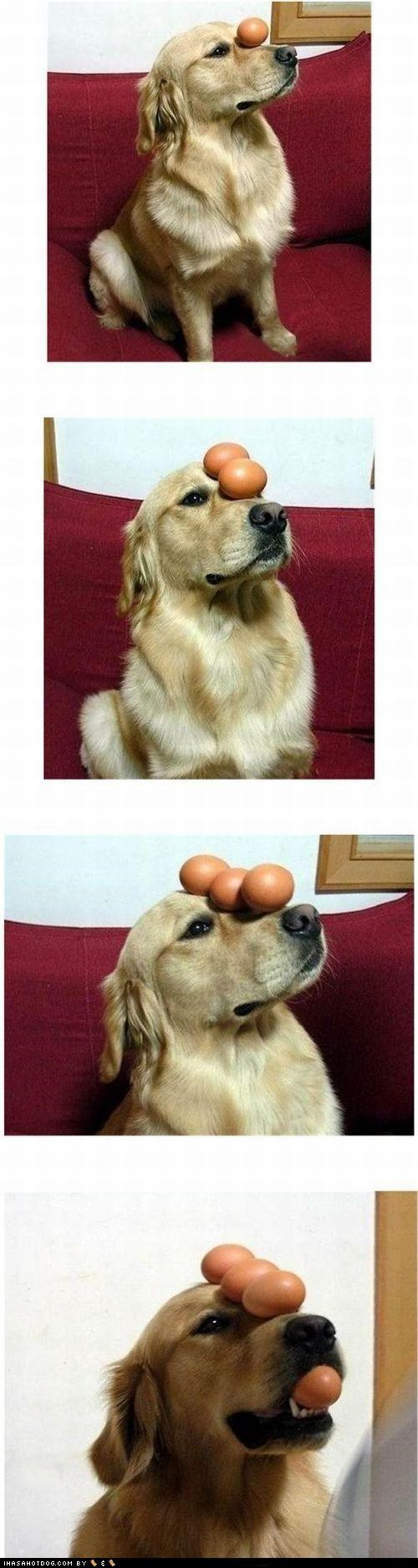 balance,eggs,golden retriever,nose