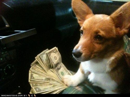 cash,corgi,dollar bills,dollas,goggie ob the week,money,puppy