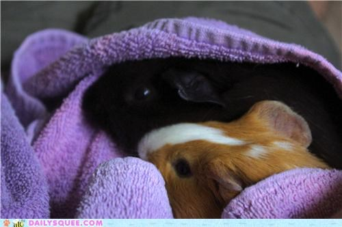 Babies baby burrito guinea pig guinea pigs proper reader squees reward wrapped up - 4897680896