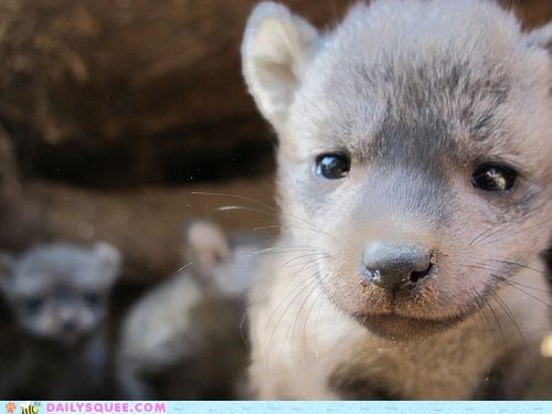 adorable baby bat-eared fox fox irresistible kit overload pout pouting pouty face - 4901334016