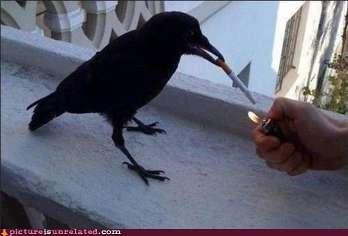 animals,bird,cigarettes,crow,smoking,wtf