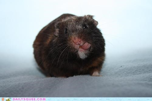 adorable apathetic care caring concern dont-care hamster reader squees reason tiny tongue