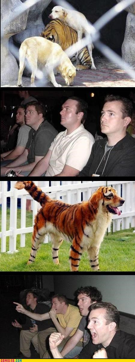 golden retriever,ligon,lion,reaction guys,tiger