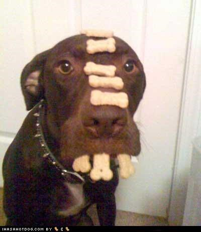 best of the week chocolate lab dog bones Hall of Fame hungry patient stack still