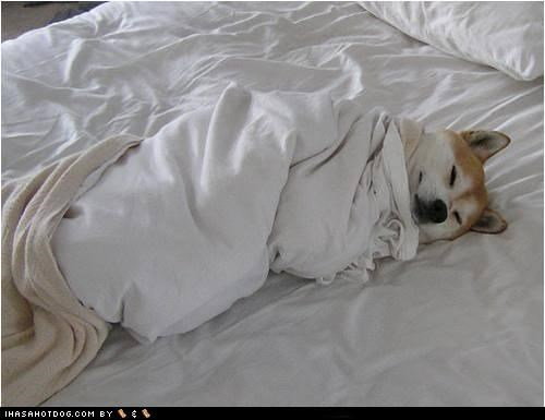 bed,blanket,nap,sheets,shiba inu,sleep,snuggle