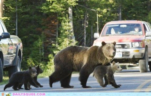 acting like animals,bear,bears,crossing,cub,cubs,nonchalant,nothing,request,road,suggestion