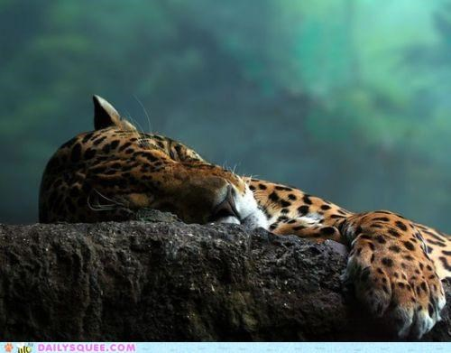 acting like animals asleep FAIL leopard nap napping Pillow poetry rock sleeping win - 4905211648