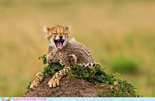 acting like animals cheetah cub funny giraffes jaw laughing pain stilts