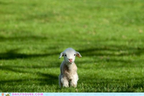 baby lamb pun sheep song the-bagmans-gambit the decemberists - 4905348864