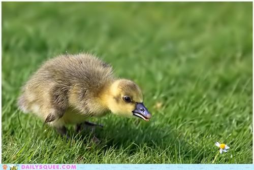alliteration alliterative baby daisy duck duckling - 4905359872