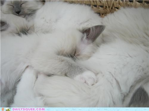 basket,blending,blurring,cat,Cats,kitten,nine,pile,ragdoll,reader squees,sleeping,together