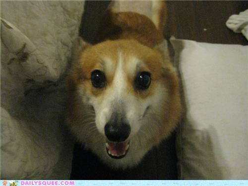adorable corgi cute cutest ever face happy reader squees Staring - 4907481600