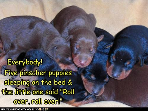 "Five pinscher puppies sleeping on the bed & the little one said ""Roll over, roll over!"" Everybody!"