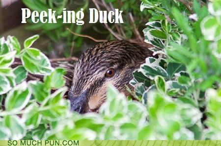 answer,double meaning,duck,homophone,horrible,literalism,peeking,peking,peking duck,question