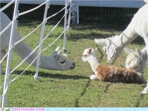 alpaca alpacas baby competing competition cute flexible fuzzy male reader squees
