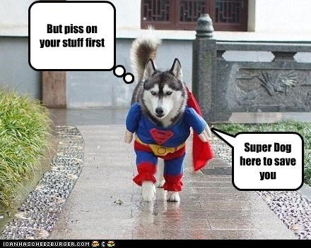 But piss on your stuff first Super Dog here to save you