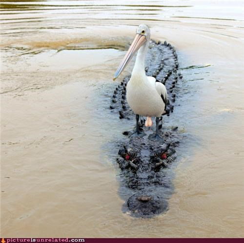 alligator animals stork wtf - 4912986624
