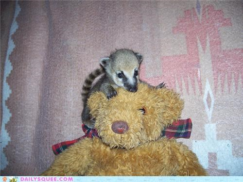 baby,coati,cuddling,squee spree,stuffed animal,teddy bear,winner