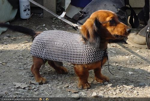 chainmail,cyoot puppeh ob teh day,dachshund,gravel,knight,leash,puppy
