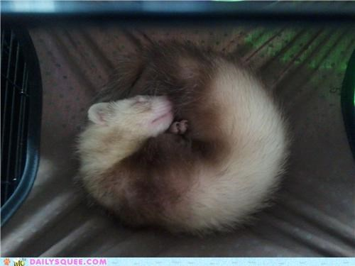 baby,behavior,cute,do want,favorite things,ferret,fickle,hammock,reader squees,sleeping,toes,toys,typical