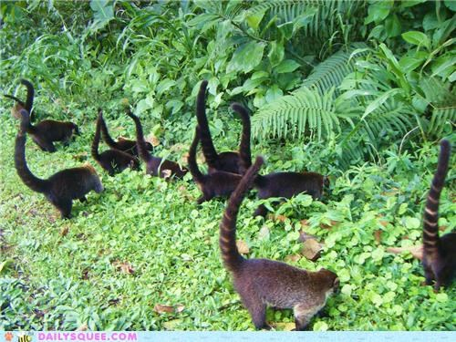 air Babies baby coati coatis Command Party song squee spree tail tails