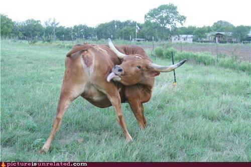 butt cow eww lick wtf - 4917475584