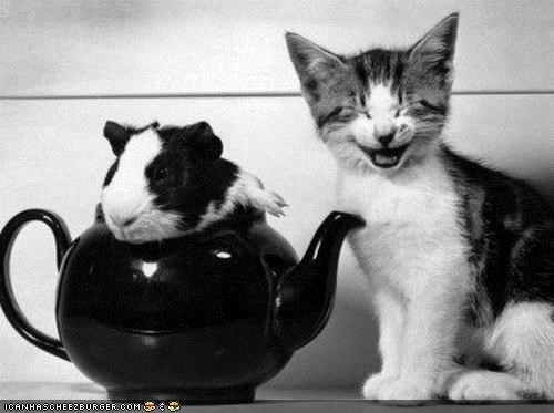 cyoot kitteh of teh day,funny,guinea pig,Interspecies Love,laughing,tea,teapot