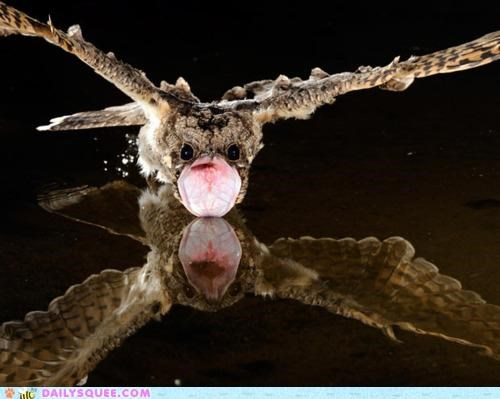 bird disproportionate drinking enormous large mouth nightjar proportions small swooping water whatsit whatsit wednesday - 4918713344