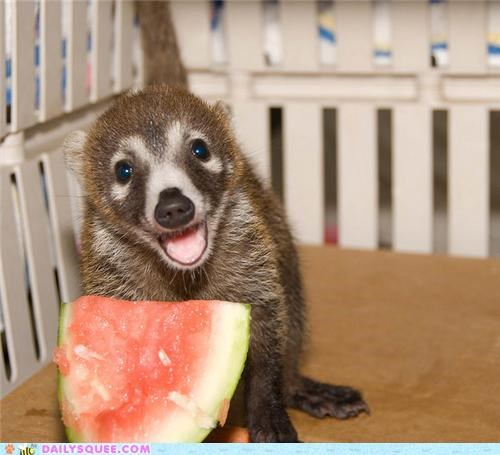baby coati crazy do want excited melancholy melon noms pun squee spree watermelon - 4918734080
