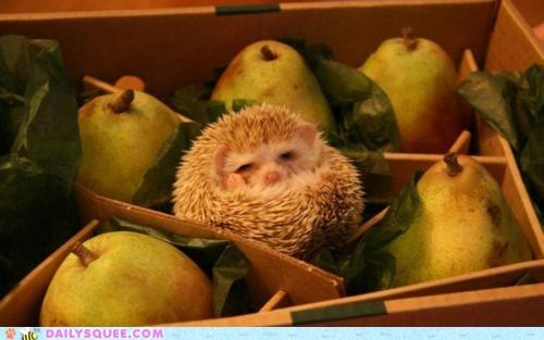 cactus Hall of Fame hedgehog literalism pear prickly prickly pear pun