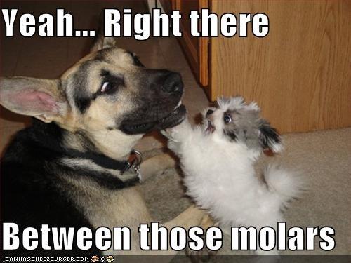 dentist friends german shepherd teeth yorkshire terrier - 4919665664