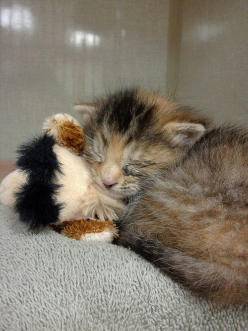 calm,cat,comfort,cranky,friend,giraffes,kitten,reader squees,rescued,security,stuffed animal