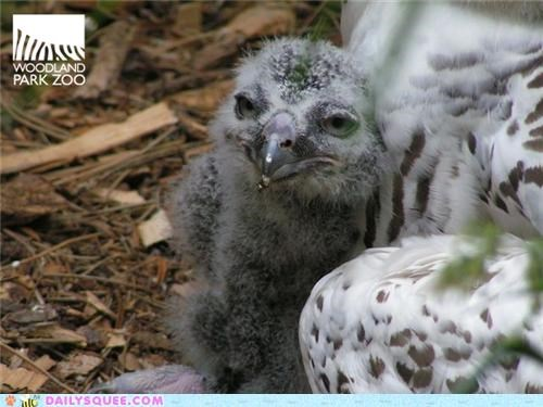 adorable baby chick Owl owlet snow snowy owl weather woodland park zoo - 4921323520