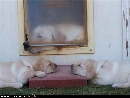 dog door,mom,nap,puppies,sleep,step,yellow lab