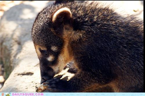baby coati quiet quiet speculation speculation squee spree thinking though - 4922609152