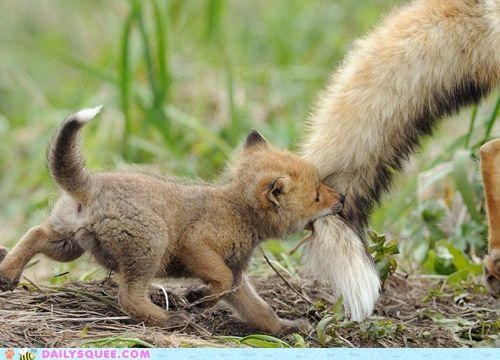 biting,conflicted,fox,foxes,Hall of Fame,keeping up,kit,mother,plight,pulling,struggling,tail