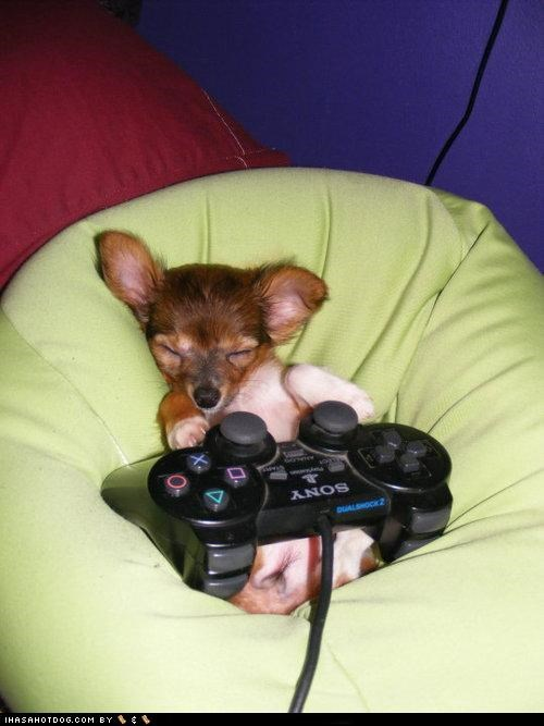 chihuahua,cyoot puppeh ob teh day,nap,puppy,sleeping,video games