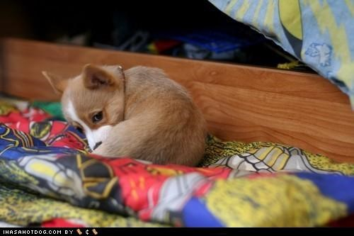 corgi,cyoot puppeh ob teh day,innocence,puppy