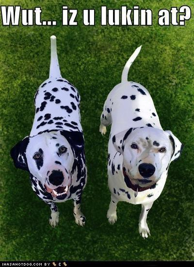 american eskimo bull terrier dalmatian goggie ob teh week poll pomeranian - 4925363200