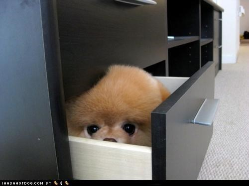 cyoot puppeh ob teh day hiding peeking pomeranian - 4925444096