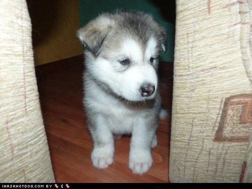 break cyoot puppeh ob teh day hiding place husky - 4925965568